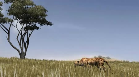 gepard : Cheetah sneaks through the savanne