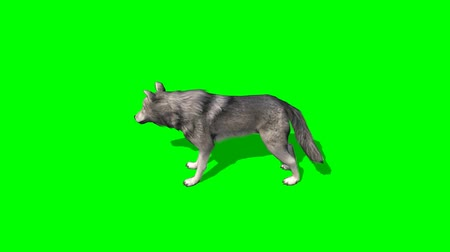 волк : wolf in motion - greenscreen Стоковые видеозаписи