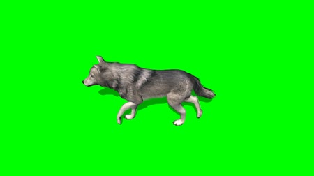 farkas : wolf walks  - greenscreen Stock mozgókép