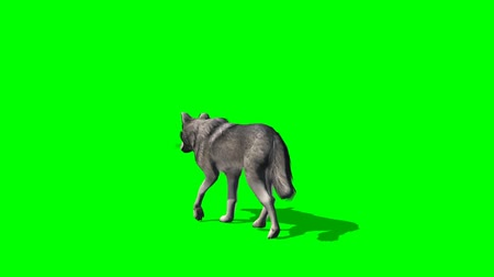 волк : wolf walks  - greenscreen Стоковые видеозаписи
