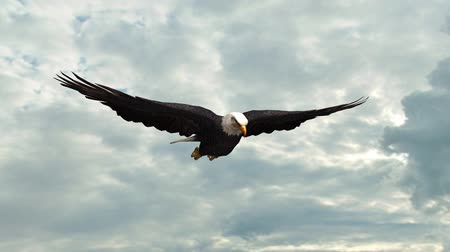 baixo ângulo : Bald Eagle in the glide  Close-Up