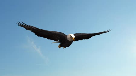 orel : Bald Eagle in the glide  Close-Up