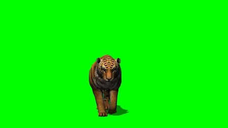 tigris : Tiger walks - green screen Stock mozgókép