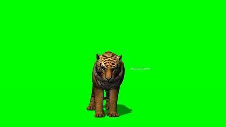 bengal cat : Tiger eats - green screen