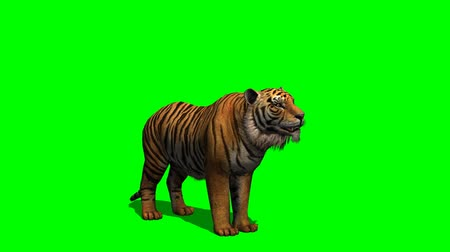bengália : Tiger howls - green screen