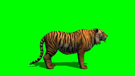 bengal cat : Tiger howls - green screen