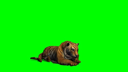 řev : Tiger lies - green screen