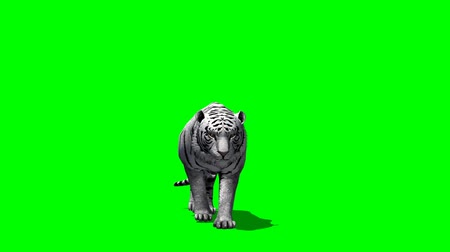kaplan : white Tiger creeps - green screen creeps Stok Video