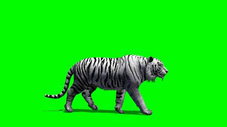 bengal cat : white Tiger walks fast - green screen Stock Footage