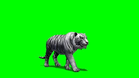 tigris : white Tiger walks fast - green screen Stock mozgókép