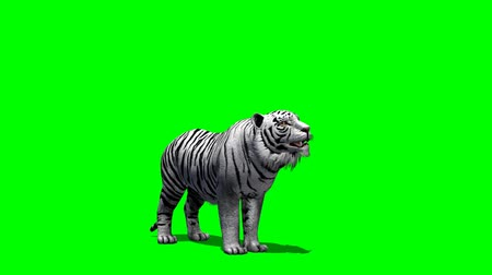 tigris : white Tiger roars - green screen