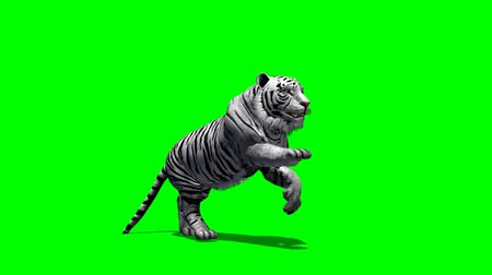 bengal cat : white Tiger runs - green screen