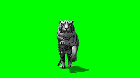 tigris : white Tiger runs - green screen