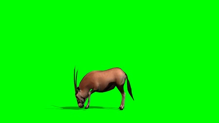 wildtiere : Spießbock Antilopen grasen - green-screen