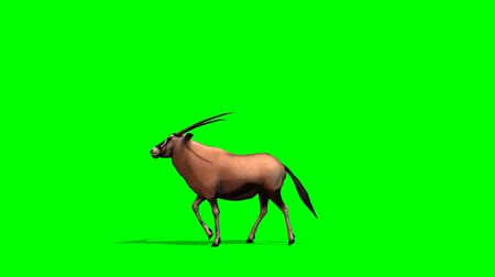 vadon : Gemsbok Antelopes walks - green screen