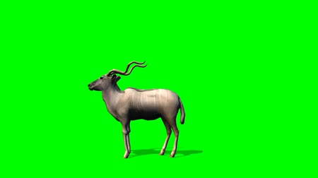 antilop : Kudu Antelopes stands and looks around - green screen Stok Video