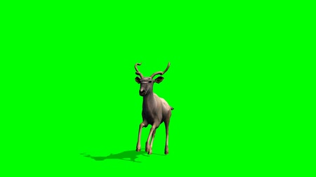 wildtiere : Kudu Antilopen Pisten - green-screen Videos
