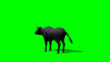býci : Black bull in motion - green screen