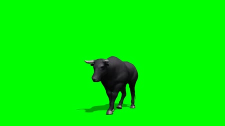 býci : Black bull walks - green screen Dostupné videozáznamy