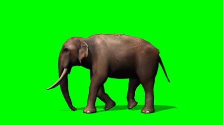 fil : African Elephant walks - green screen Stok Video