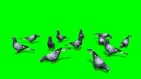 z lotu ptaka : pigeons in a group on the ground - green screen Wideo