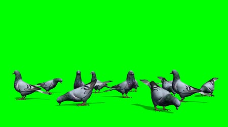 bird's eye view : pigeons in a group on the ground - green screen Stock Footage