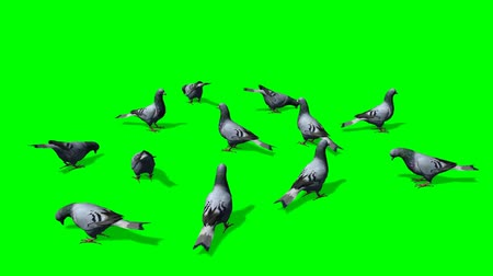 hayvan kafa : pigeons in a group on the ground - green screen Stok Video