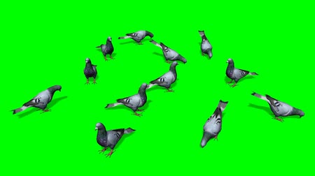 dove of peace : pigeons in a group on the ground - green screen Stock Footage