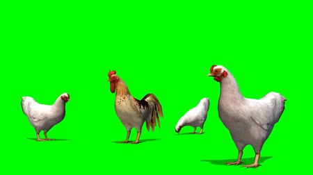 kakas : chicken with rooster on green screen