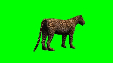 leopard cat : leopard standing and looks around - green screen Stock Footage