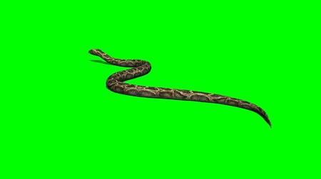yılan : python snake crawls - green screen Stok Video