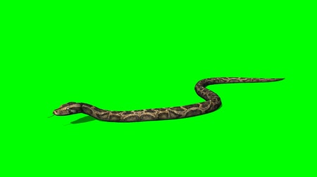 змей : python snake crawls - green screen Стоковые видеозаписи