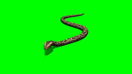 sürüngen : python snake crawls - green screen Stok Video