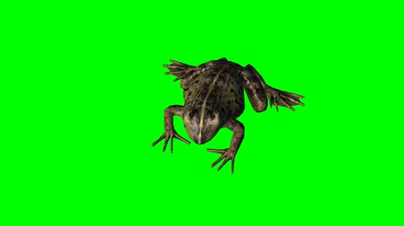 žába : frog idle - green screen