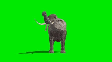 elefante : elephant eat  - green screen