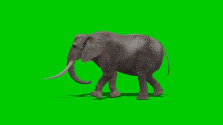 fil : elephant walking - green screen