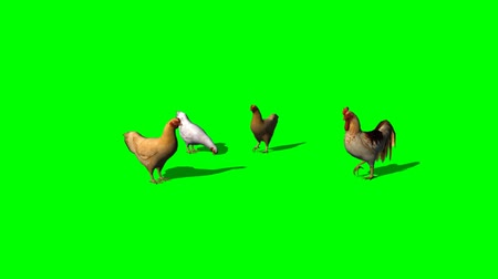 Gallo y gallinas - pantalla verde Archivo de Video