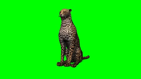 gepard : cheetah idle on green screen