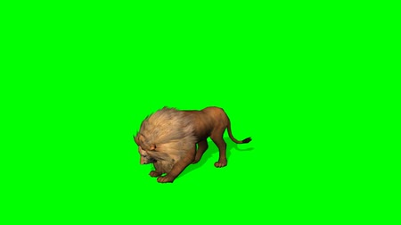 зеленый фон : lion attack on green screen
