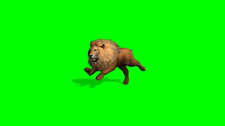 bas : lion runs on green screen Stok Video