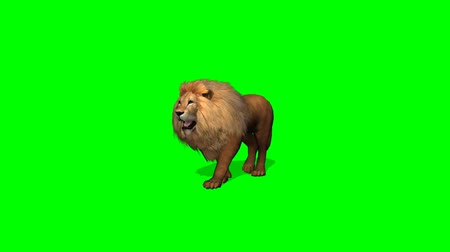 gato selvagem : lion walks on green screen