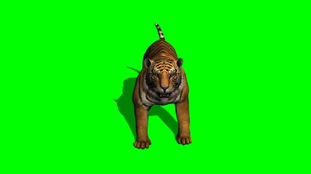 tigris : tiger attack on green screen
