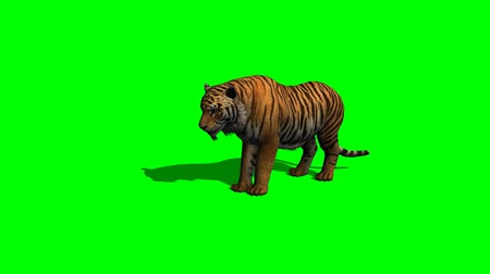 panter : tiger eats on green screen