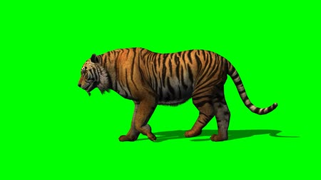 panter : tiger walks on green screen