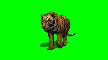 gato selvagem : tiger walks on green screen