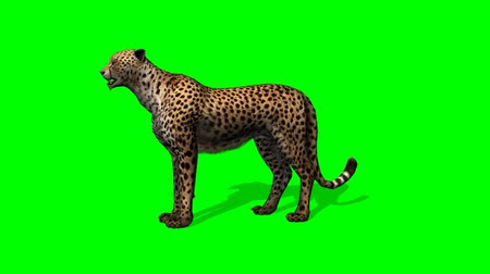 aşağı bakıyor : cheetah idle on green screen