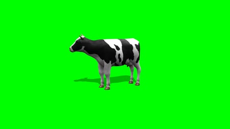 скот : cow stands and chews - 2 different views - green screen