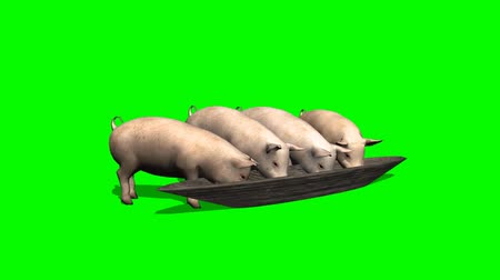 svině : pigs eat from trough - green screen