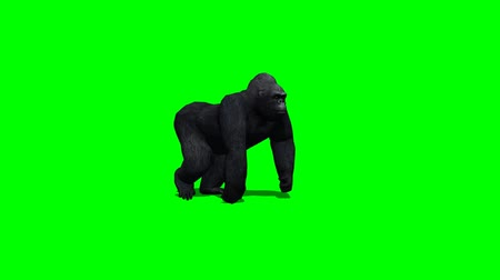 majom : gorilla walks - two different views - green screen