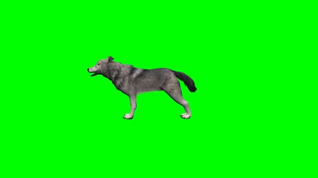 czechoslovak : wolf howl - 3 different views - without shadow - green screen